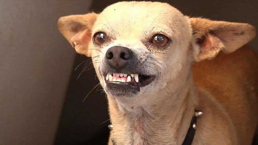 красивейший злая маленькая собачка картинки заливало