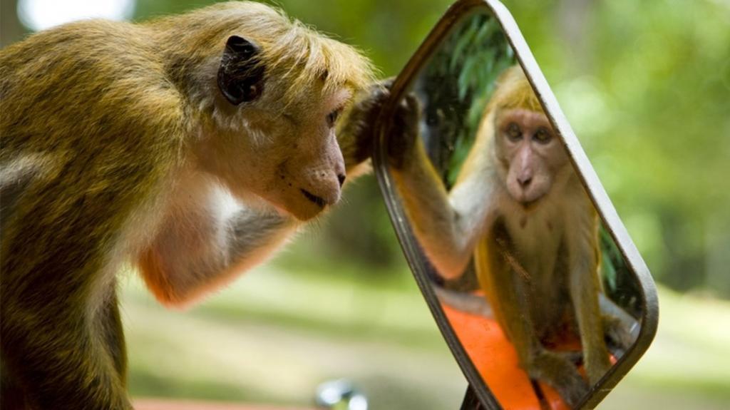 резцы отличаются обезьянка и зеркало картинки автомобилями