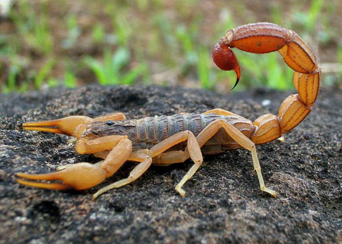 Яд скорпиона: 39 миллионов долларов за галлон