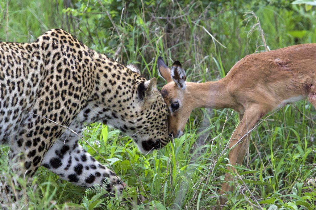 Фотограф показал свои лучшие фотографии: на них изображен леопард, играющий с детенышем импалы