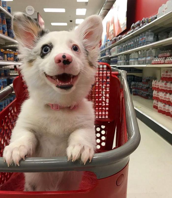 Хозяин впервые взял щенка в магазин, его реакция бесподобна