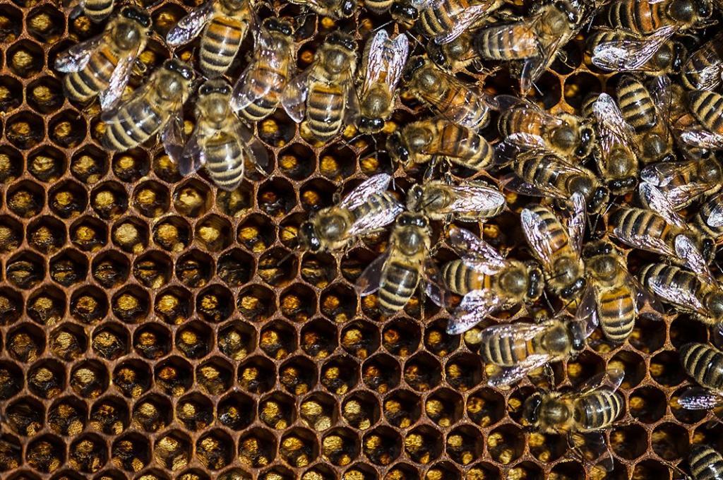 Пчеловоды считают, что в исчезновении пчел виновато производство миндального молока