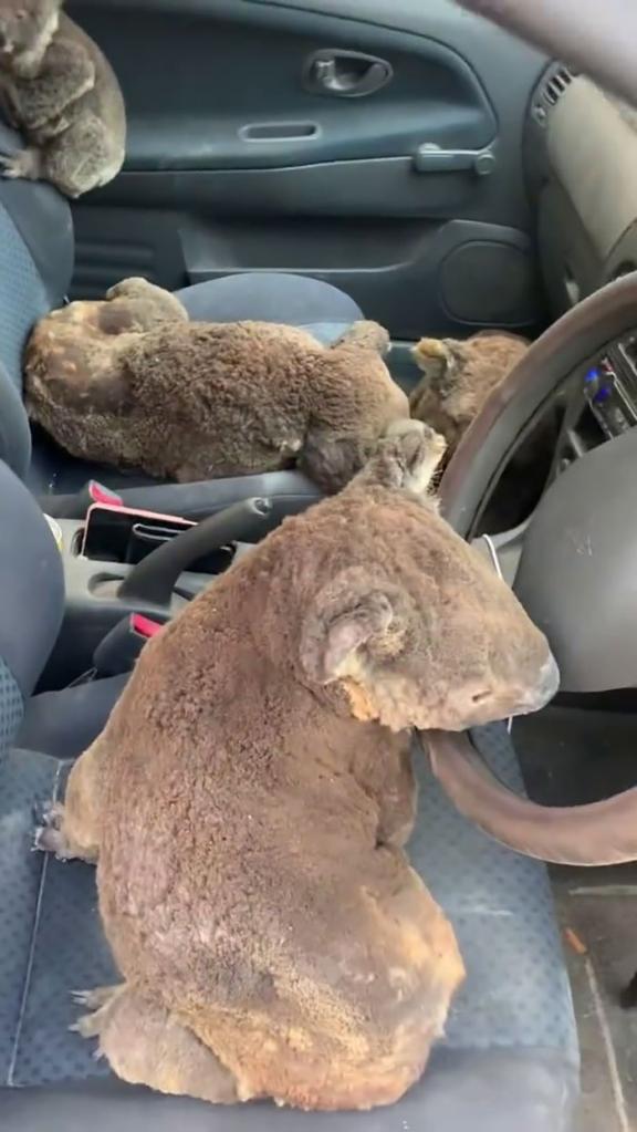 Два брата спасают коал из горящих лесов Австралии: герои, которые живут среди нас