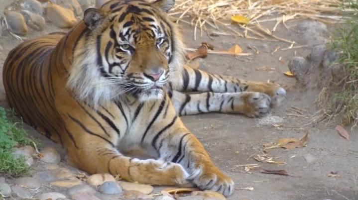 Фотография тигриной семьи не оставила равнодушными пользователей Twitter
