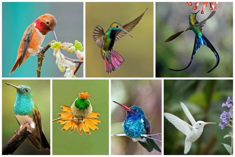 Ученым удалось выяснить причину необычного окраса оперения колибри