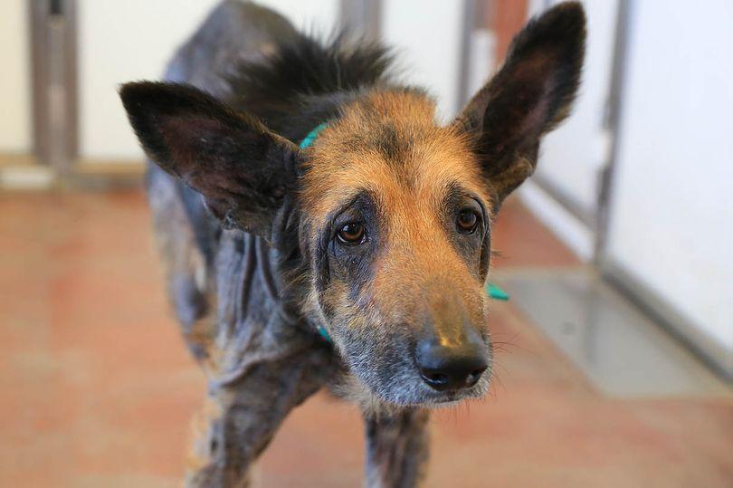 Ральф был брошен и неухожен. Сегодня пса не узнать - он настоящий красавчик (фото)