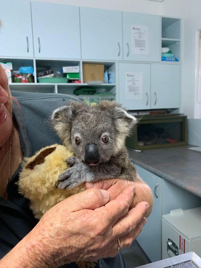 Собака спасла маленькую коалу. Люди попытались ее выходить (фото после)