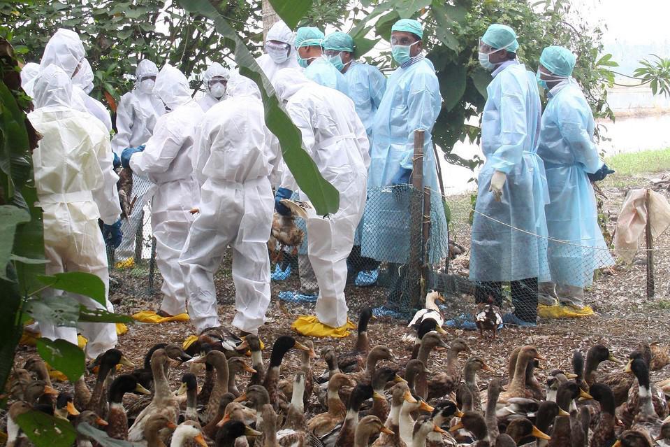 птичьего гриппа картинки для огурцы