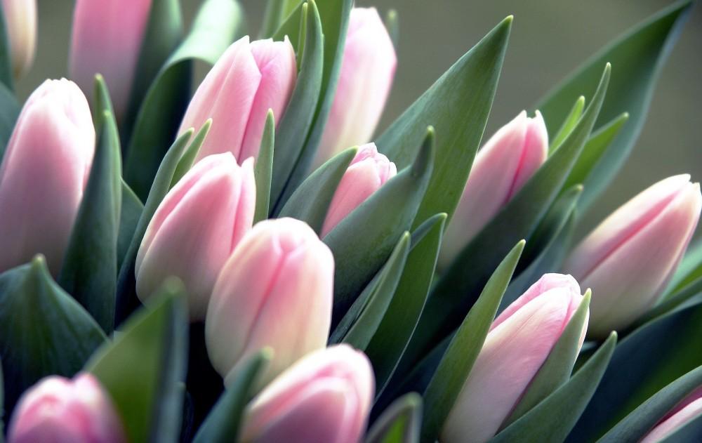 крошечный красивые тюльпаны очень фото сожалению, пользователь екатерина