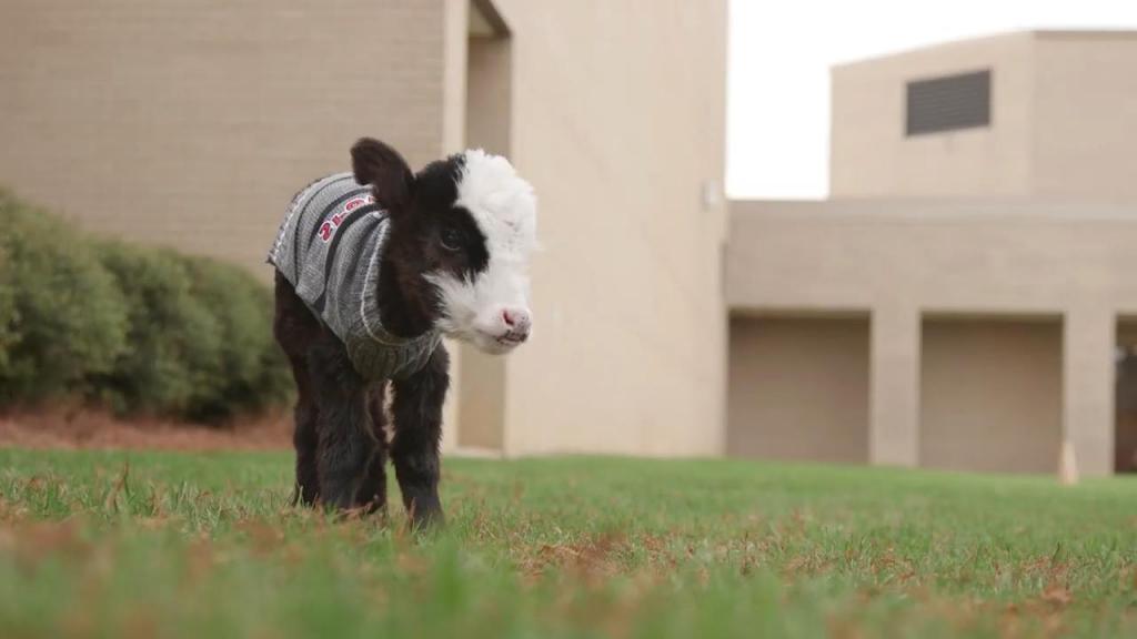 Маленькая корова покорила интернет. Телочка Лил Билл весит, как домашняя кошка (фото)