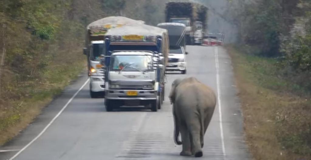 Слон-сладкоежка остановил грузовик, чтобы полакомиться сахарным тростником: видео