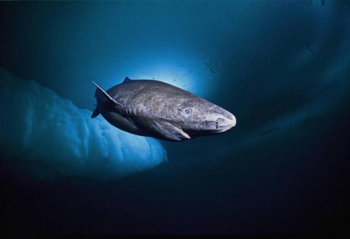Мегамутская акула
