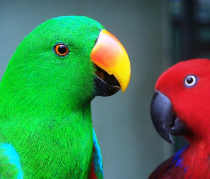 виды попугаев картинки роль при оформлении