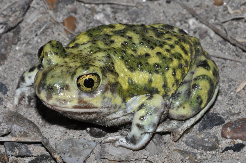 Ищут более достойную пару: почему самки жаб часто игнорируют самцов своего вида