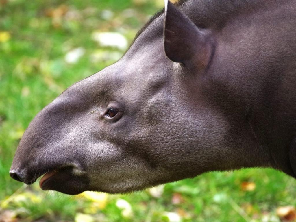 Эволюция предков современных животных: маленькие лошади становились меньше, а большие тапиры - больше