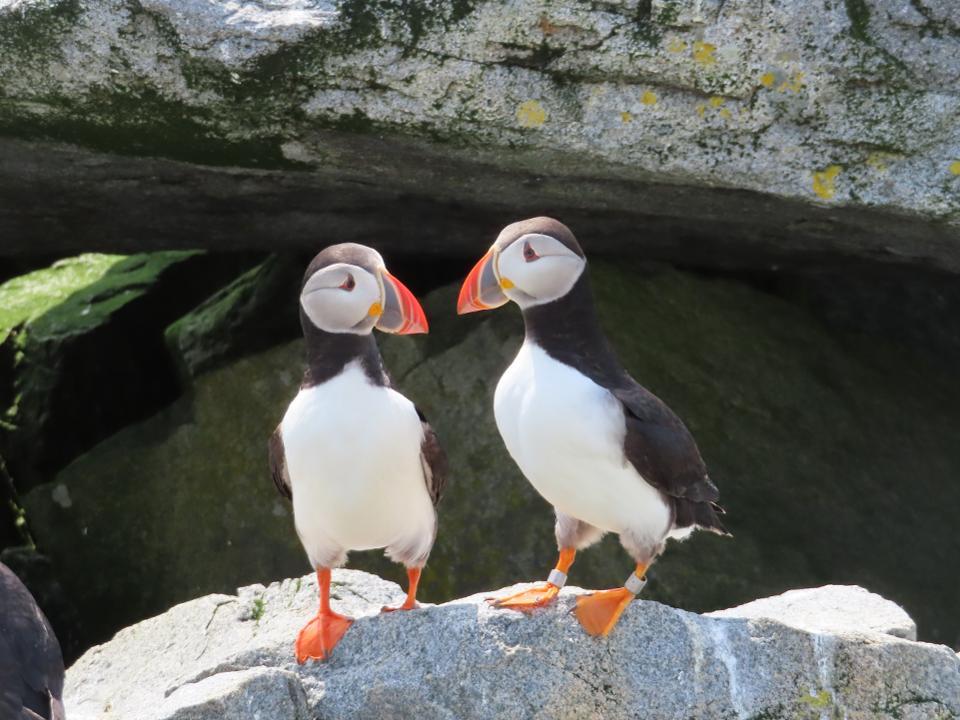 Экзотические птицы заповедника на острове Machias Seal Island: восхитительные фото