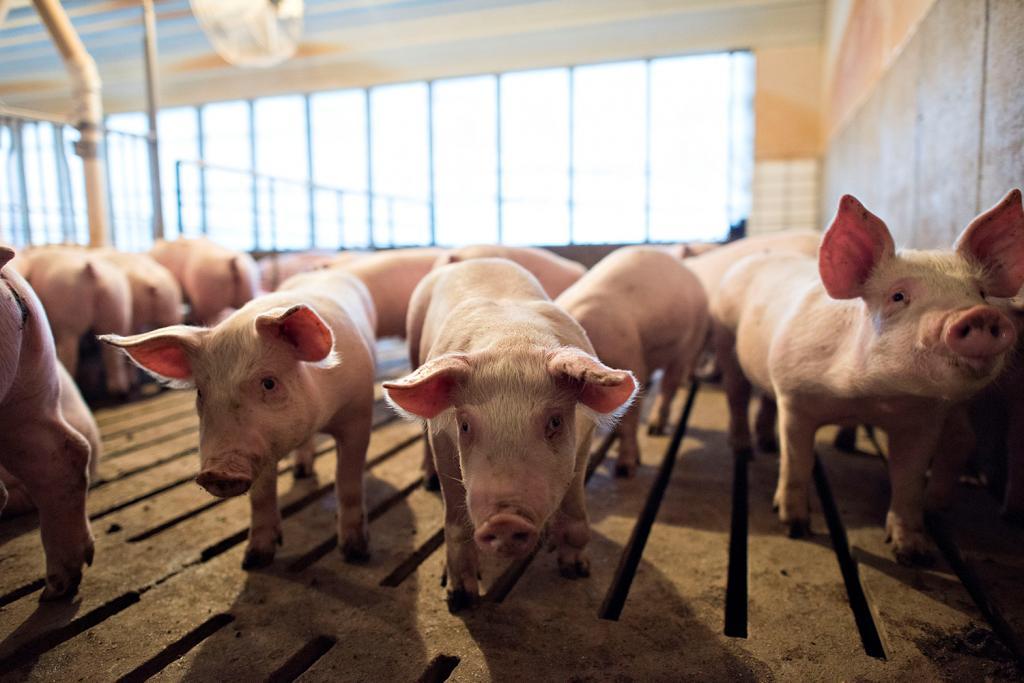 Виновато ли в эпидемии промышленное сельское хозяйство? Интересное рассуждение о природе коронавируса