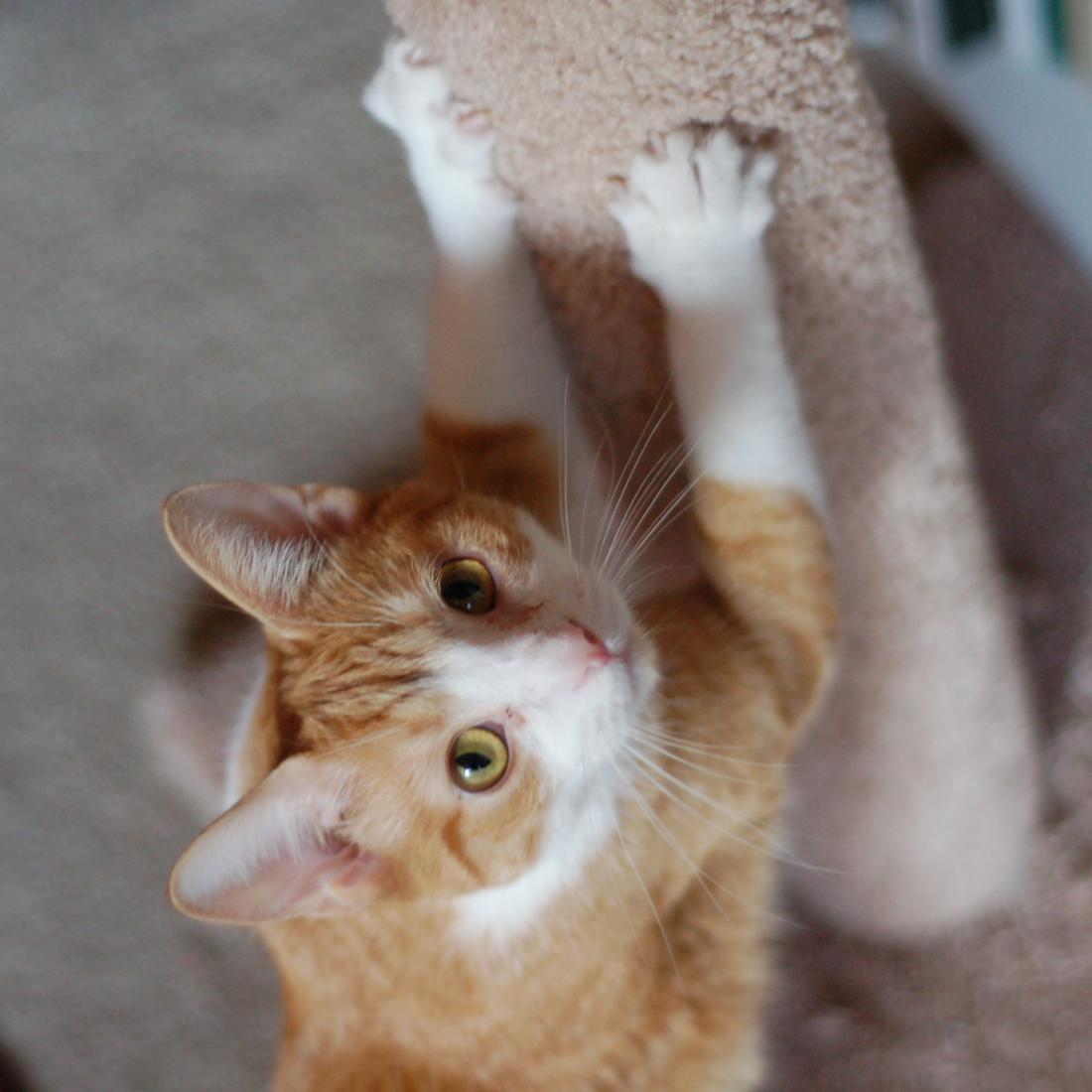 Британские коты фото с голубыми глазами