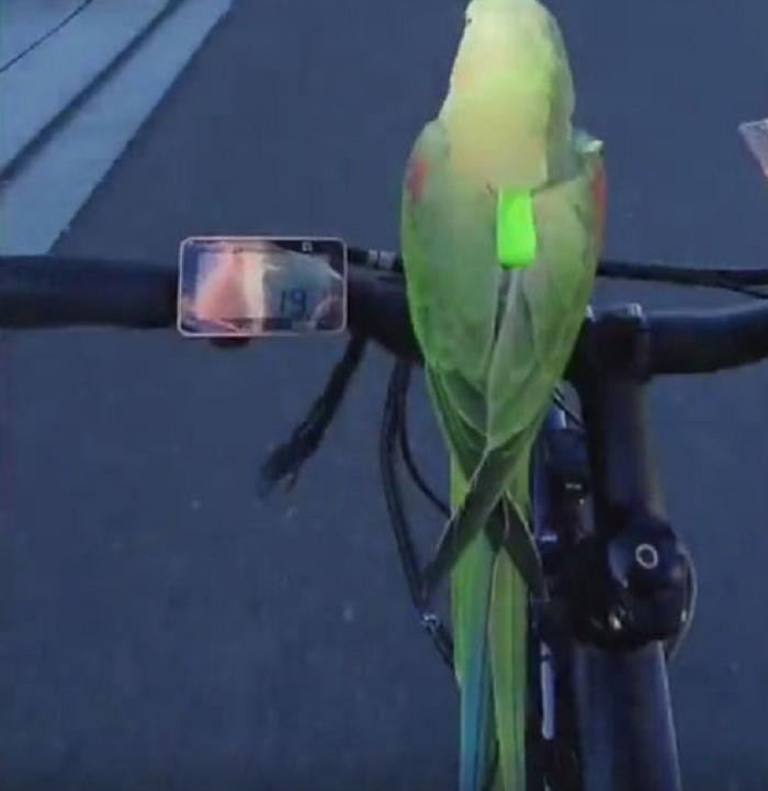 Попугай, который любит кататься на велосипеде: веселое видео