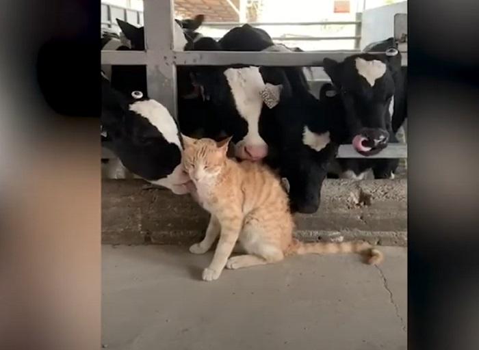 Кошка забралась в коровник и нашла там много новых друзей (видео)