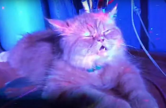 Вот это соня: спящего кота не смогли разбудить даже громкая музыка и дискотечные огни (смешное видео)