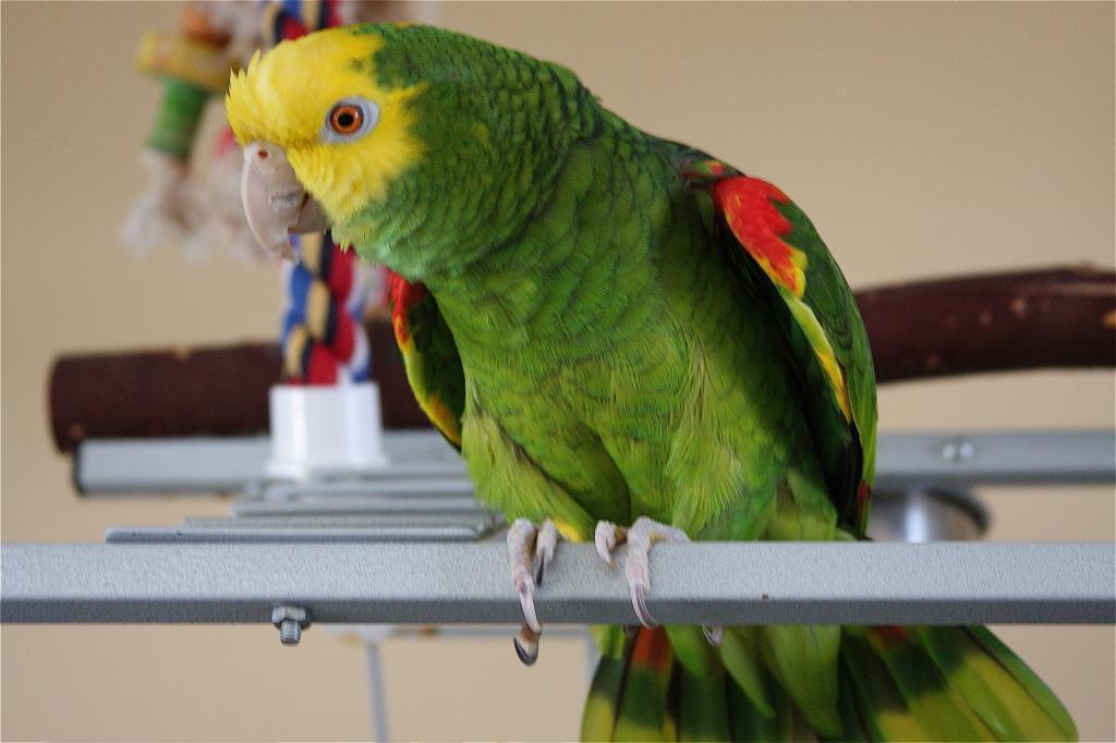 Да он поет лучше меня: попугай, который потрясающе поет под аккомпанемент гитары