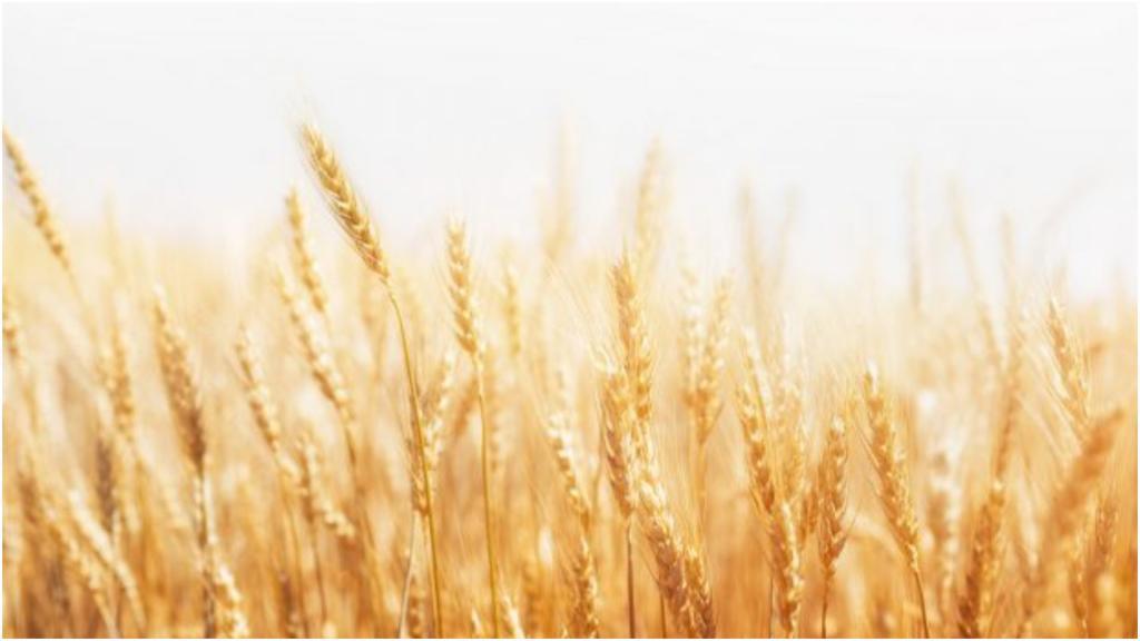 Многоэтажка для пшеницы: американцы нашли способ выращивать в 600 раз больше зерна