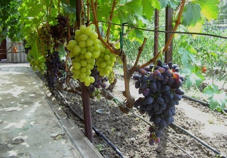Хороший полив винограда в период его созревания – залог сладкого и обильного урожая 6