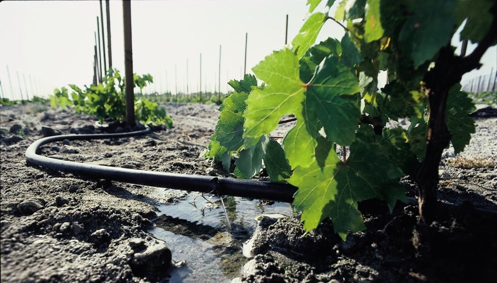 Хороший полив винограда в период его созревания – залог сладкого и обильного урожая 5