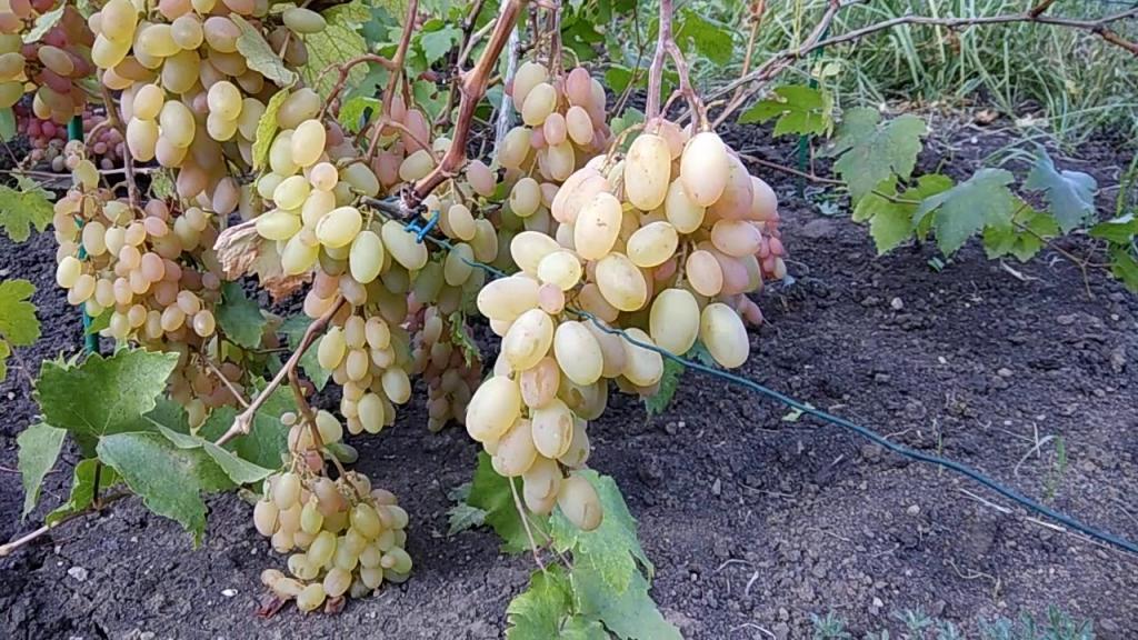Хороший полив винограда в период его созревания – залог сладкого и обильного урожая 8