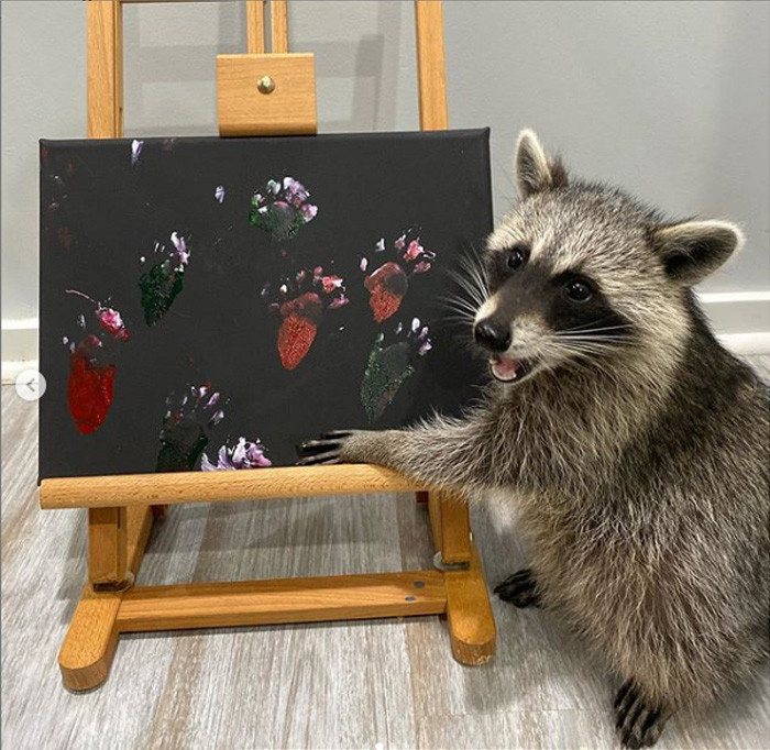 Посмотрите, как она гордится своими работами: забавный енот, который рисует картины лапками
