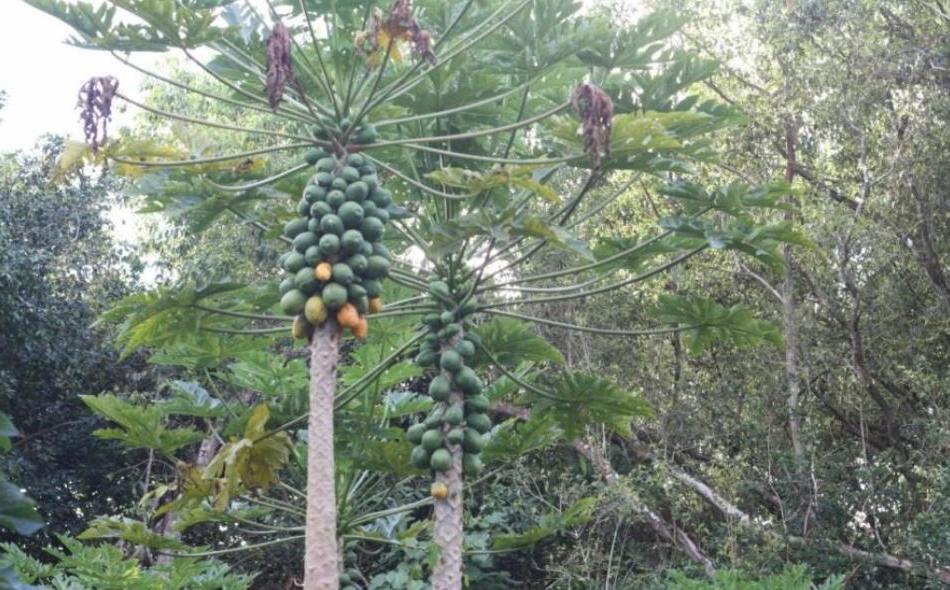 Супруги построили своими руками ферму в гавайских джунглях: хозяйство обеспечивает овощами и фруктами хозяев и их друзей