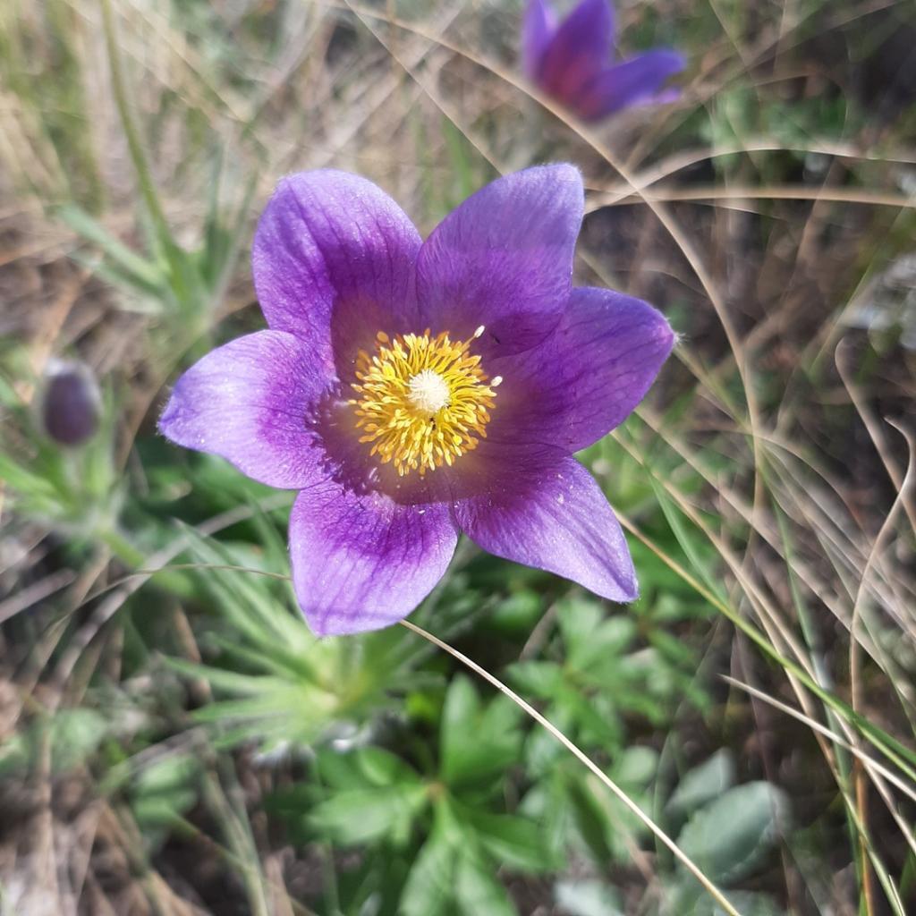 Для людей - чудо, для ученых - явление: на Урале под конец лета расцвели весенние подснежники