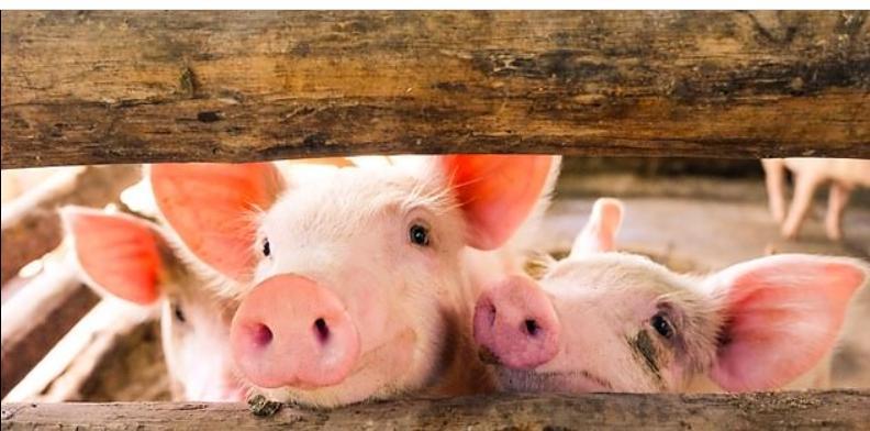 Ученые провели успешный эксперимент на свиньях по выращиванию новой печени: он оказался успешным