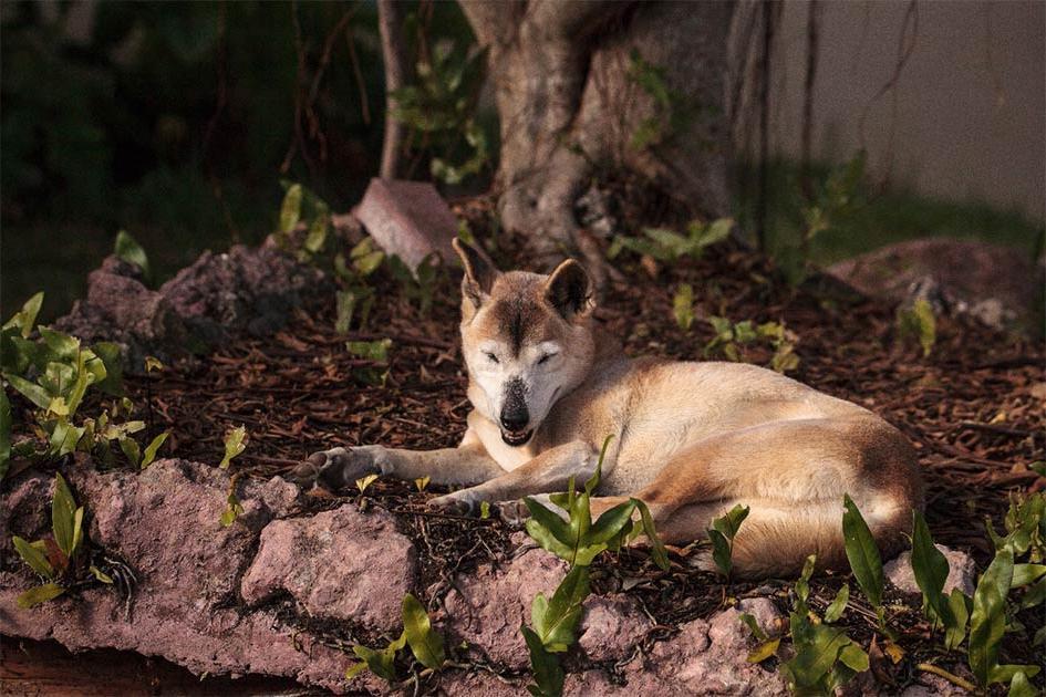Ученые нашли связь между дикими поющими собаками и домашними: это поможет лучше изучить человеческий род