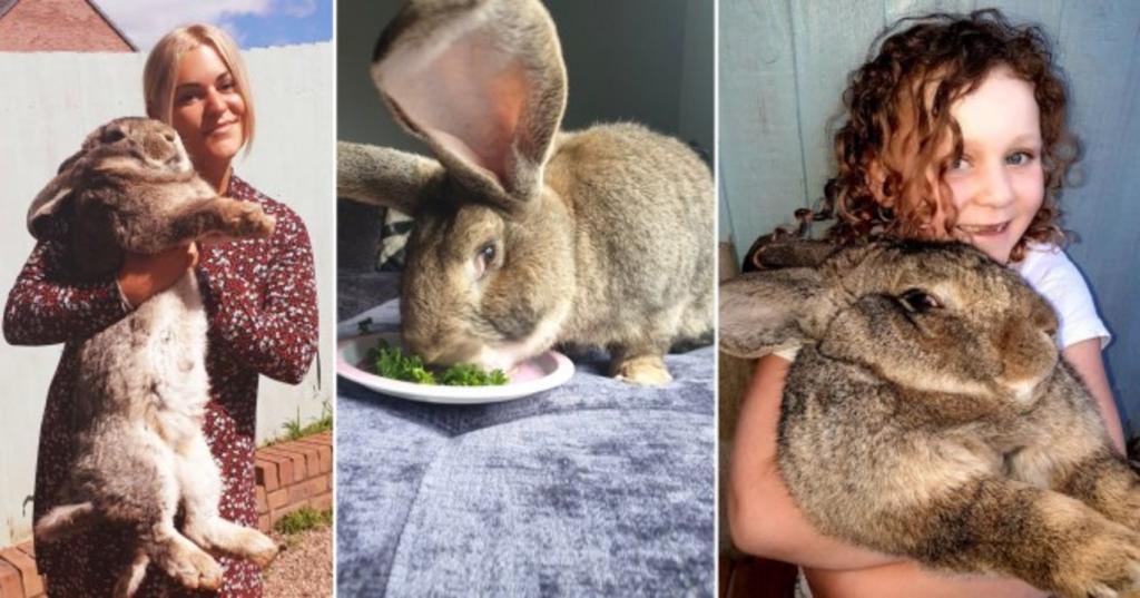 Сын гигантского кролика может побить мировой рекорд своего отца