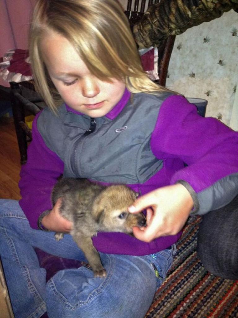 Семья подобрала в степи щенка койота, он вырос и не отличается от собаки