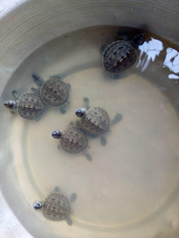 Ученым удалось спасти редкую «улыбающуюся» черепаху, которая на протяжении 20 лет считалась вымершей