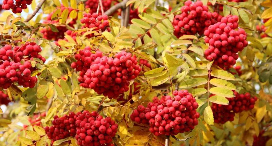 На Наталью Овсяницу (8 сентября) собирают калину и рябину, пекут блины и варят кисель