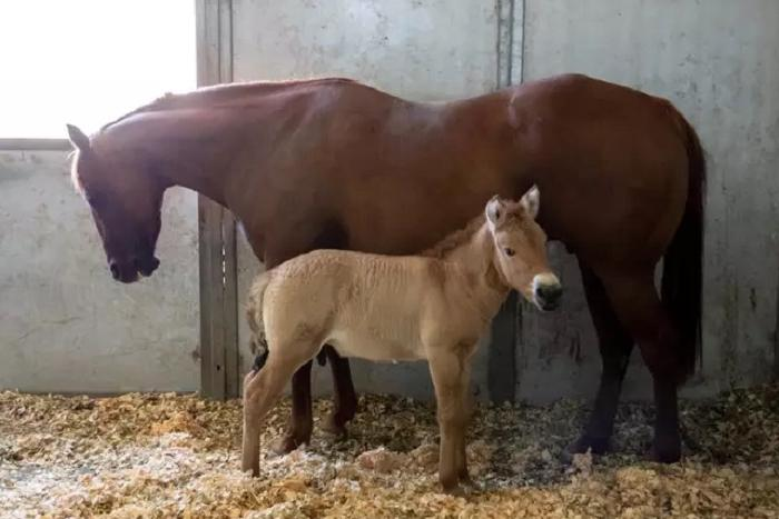 Ученые успешно клонировали жеребца лошади Пржевальского, чья ДНК была заморожена 40 лет назад