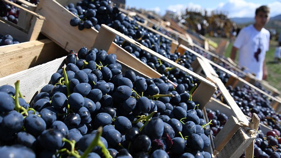 Ветки должны быть гибкими: в Роскачестве рассказали, как выбрать полезный виноград