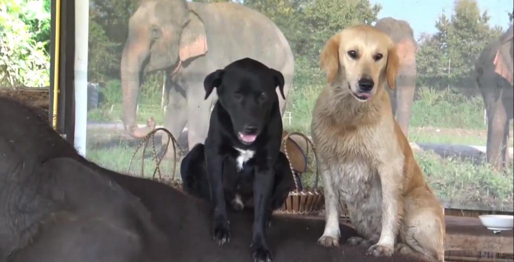 В Таиланде слон подружился с собаками и теперь катает их на своей спине: видео