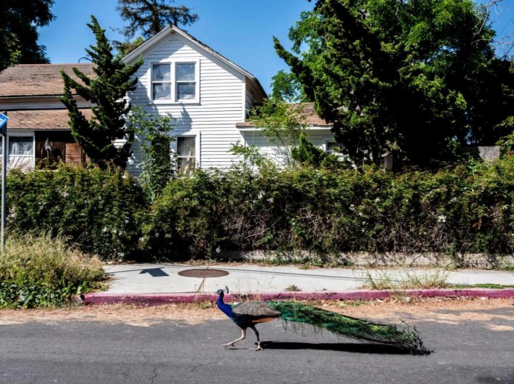 Дикий павлин по имени Тиволи появился как раз в тот момент, когда Лос-Анджелес закрылся из-за пандемии. Он поднимает настроение и оживляет горожан