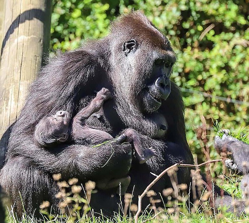 Мама малышки гориллы, родившейся в зоопарке 19 августа, не с водит с нее глаз