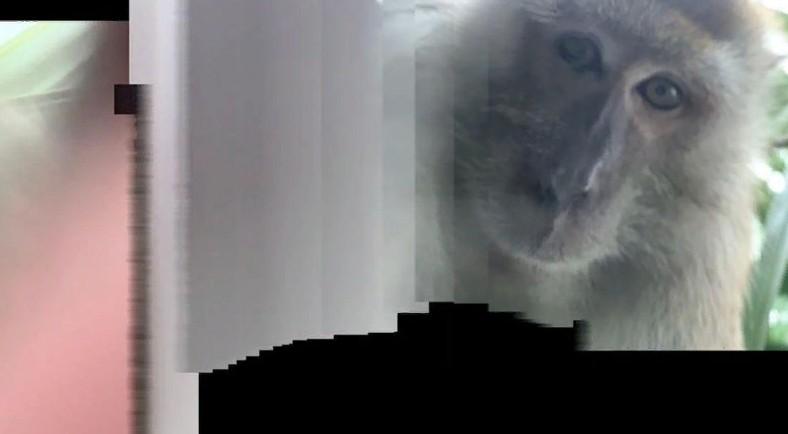 Мужчина из Малайзии находит обезьяньи селфи на потерянном телефоне