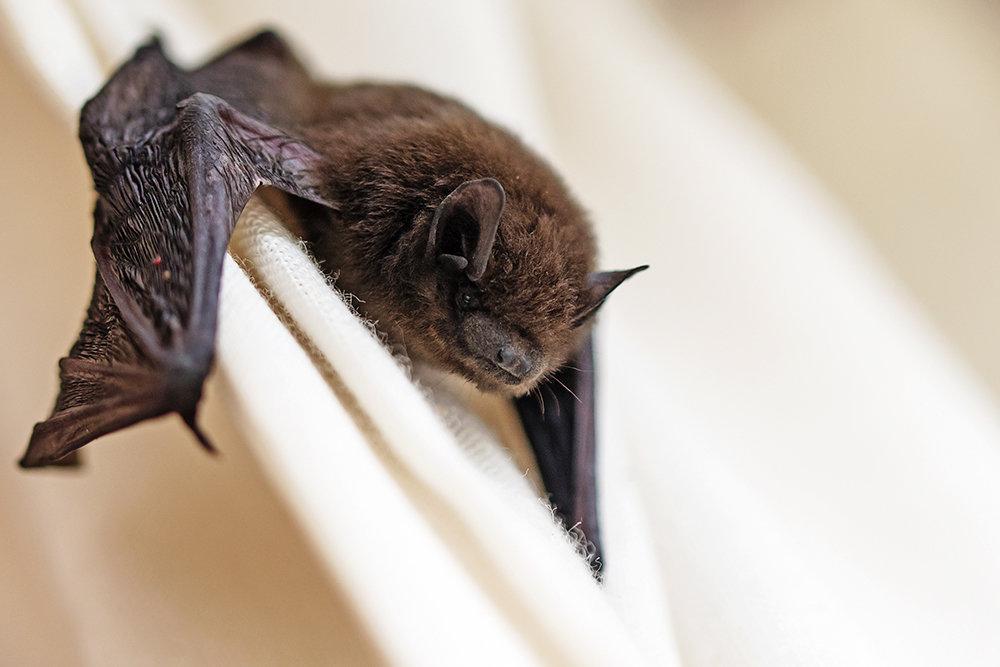 Не обижать и не кормить: экологи Мосприроды рассказали, что делать, если в квартиру залетит летучая мышь