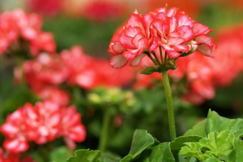 Комнатные растения, которые заменят аптечку: алоэ и китайская роза среди них