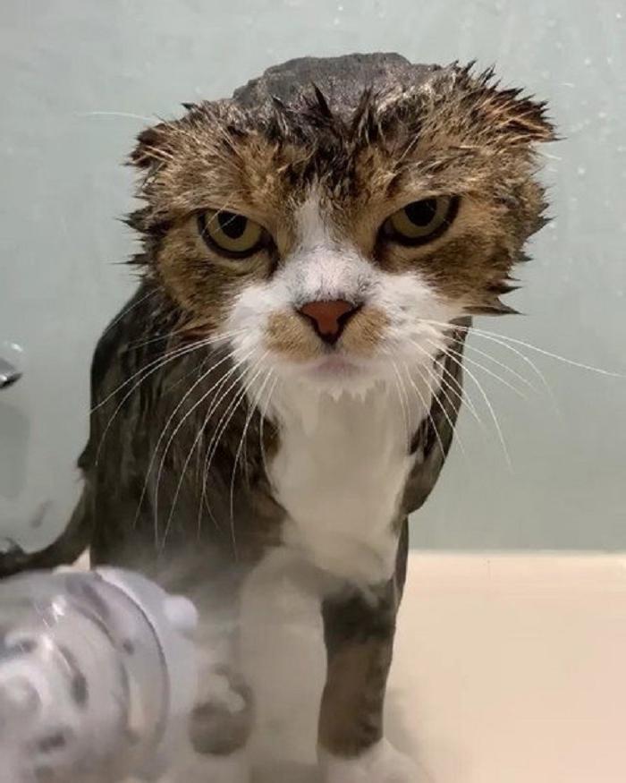 Кошка не сопротивлялась хозяйке при купании, но глаза не скрывали эмоций (видео)