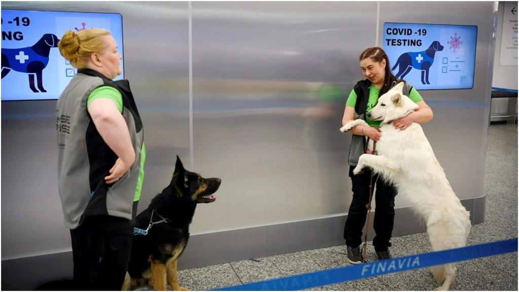 В аэропорту Финляндии коронавирус у пассажиров выявляют собаки. Точность - почти 100 %
