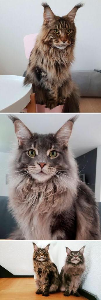 Мейн-куны в социальных сетях зачастую популярнее людей: самые известные кошки этой породы (фото)